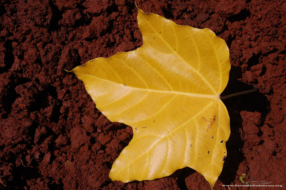 yellow-leaf-on-red-soil